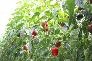 IRONOWA's FARM (2)